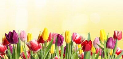 Obraz Many beautiful tulips on light background. Banner design