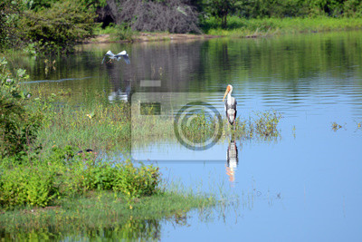 Marabu bocian. Park Narodowy Uda Walawe, Sri Lanka. Azja.
