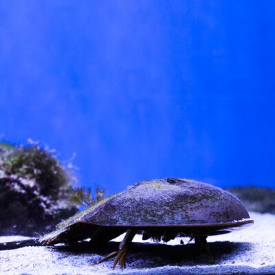 Marine background of xiphosura or horseshoe crab with copy space for text. Sea and ocean life square backdrop with blue water. Underwater inhabitants and corals. Diving, oceanarium or aquarium picture