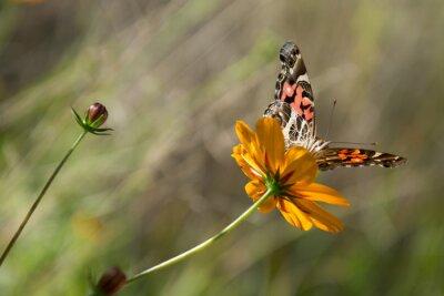 Obraz Mariposa posa sobre la Flor.