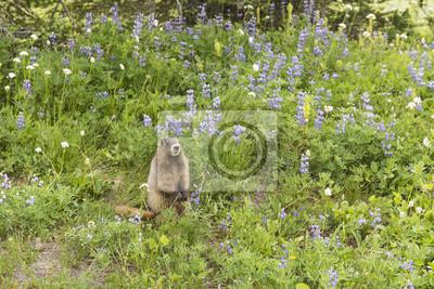 Marmot Wśród Lupine
