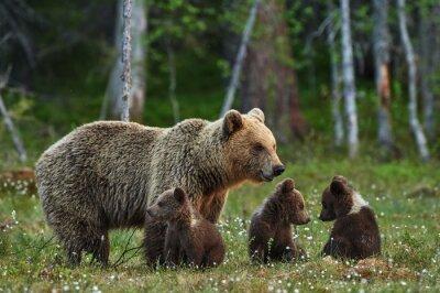 Obraz Matka i młode niedźwiedzia