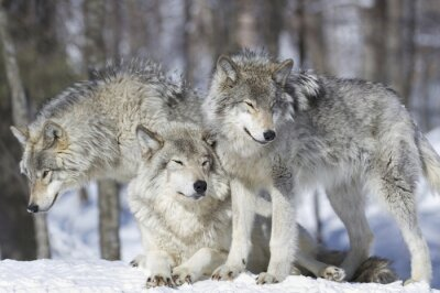 Obraz meute de loup gris