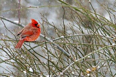 Obraz Mężczyzna Kardynał ptak siedzi na gałęzi podczas śniegu.