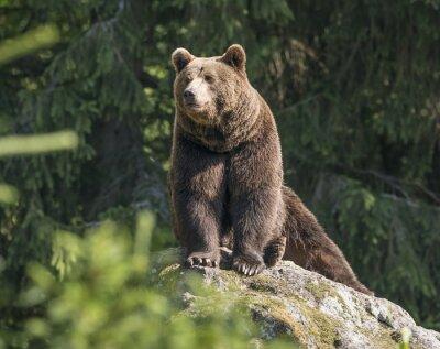 Obraz mężczyzna niedźwiedź brunatny