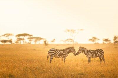 Obraz Miłość Zebra w Serengeti