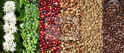 Obraz Mix of coffee beans and coffee tree blossom for background