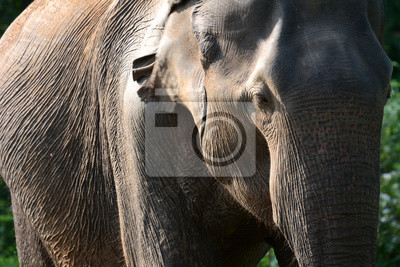 Młoda słonia w Parku Narodowym Uda Walawe, Sri Lanka. Azja.