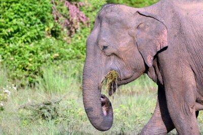 Obraz Młoda Sri Lanki słoni w Parku Narodowym Uda Walawe, Sri Lanka. Azja.