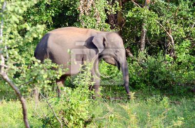 Młoda Sri Lanki słoni w Parku Narodowym Uda Walawe, Sri Lanka. Azja.