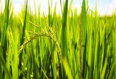 Obraz młode łodygi ryżu dojrzewają w słońcu na pola ryżowego