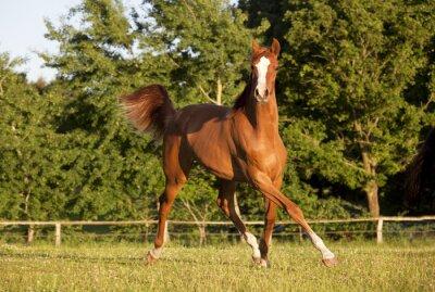Obraz młody koń kłusem na pastwisku
