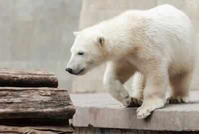 Obraz Młody niedźwiedź polarny na pniu drzewa