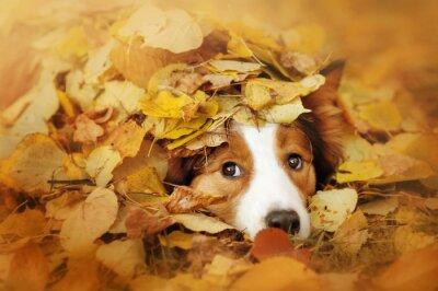 Obraz Młody pies border collie gra z liści jesienią