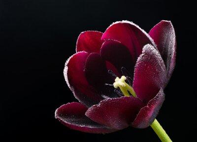 Obraz Mokra fioletowo-czarny tulipan.