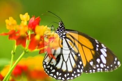 Monarch motyl na kwiat żywienie