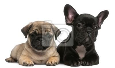 Obraz Mops Szczeniak I Buldog Francuski Puppy 8 Tygodni Na Wymiar