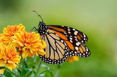Obraz Motyl monarcha (Danaus plexippus) podczas jesiennej migracji