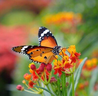 Obraz Motyl na kwiat pomarańczy