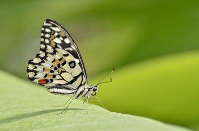 Obraz Motyl Papilio rodzaju na liści oraz widoczne z profilu