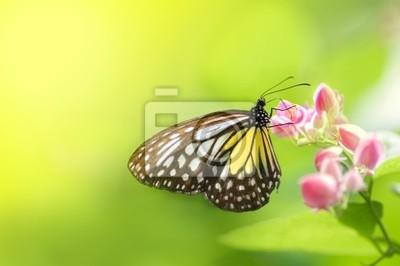 Motyl żywienia na kwiat
