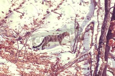 Obraz nadmorski lampart, agresywne zwierzęce spacery po zaśnieżonej ziemi, duże piękne pasiaste lamparty. Zimowy