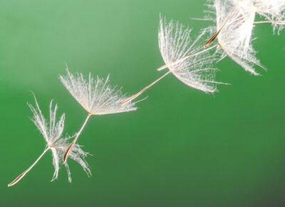 Obraz Nasiona dmuchawca)