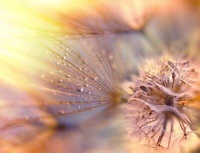 Obraz Nasiona mniszka lekarskiego - puszyste blowball (mniszek lekarski)