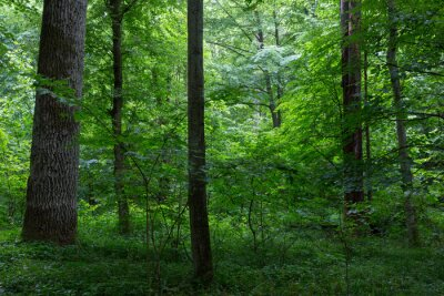 Obraz Naturalne stoiska liściastych Puszczy Białowieskiej
