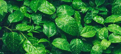 Obraz Nature green leaves with raindrop background texture