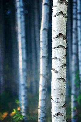Obraz Niebieski brzozowy las