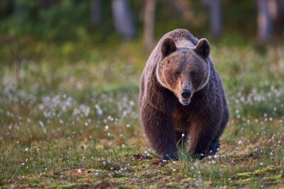 Obraz Niedźwiedź brunatny frontalnie