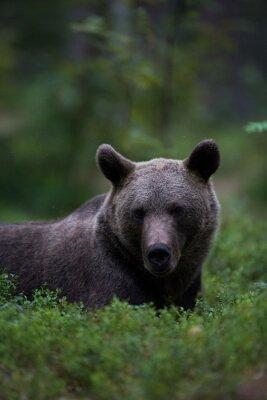 Obraz Niedźwiedź brunatny relaks w lesie