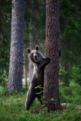 Obraz Niedźwiedź brunatny w Finlandii Lesie
