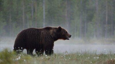 Obraz Niedźwiedź brunatny w mglistym bog
