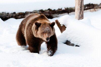 Obraz Niedźwiedź Grizzly