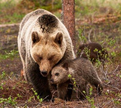 Obraz Niedźwiedź matka i szczenię