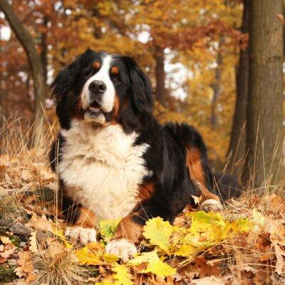 Obraz Niesamowite Berneński pies leżący w lesie jesienią