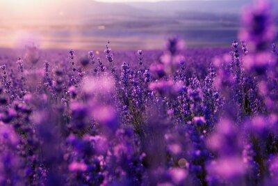 Obraz niewyraźne tło lato dzikiej trawy i kwiatów lawendy