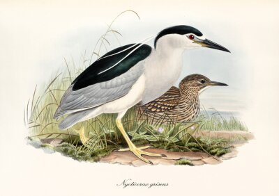 Obraz Night Heron displayed in profile view walking in the vegetation. Vintage watercolor style detailed illustration of Night Heron (Nycticorax nicticorax). By John Gould publ. In London 1862 - 1873