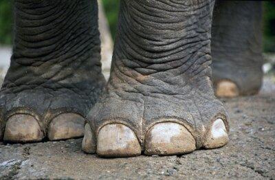 Obraz Nogi słonia.