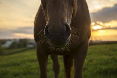 Obraz Nos konia i wąsy przed zachodem słońca