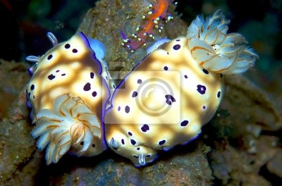 nudibranch, morze ślimak w Tajlandii