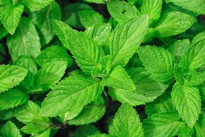 Obraz Obraz zbliżenie z liści menthe
