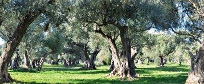 Obraz oliviers Provence