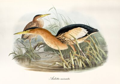 Obraz Orangish long beaked aquatic bird looking for food in a pond vegetation. Watercolor style vintage illustration of Little Bittern (Ixobrychus minutus). By John Gould publ. In London 1862 - 1873