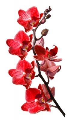 Obraz Orchid na białym tle