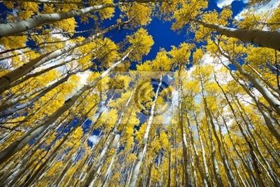 Otoczony lasem wysokich Złote Aspen drzew