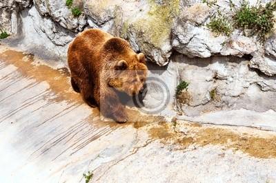 ours brun des montagnes