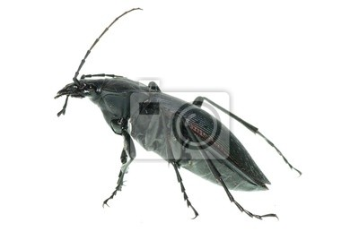 pigułki erotyczne czarne mrówki